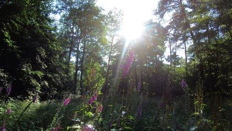 digitalis purpurea - contre-jour shot - forest border - deep sun - summer