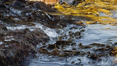 Mass of tendril like seaweed floating beside coast on waves