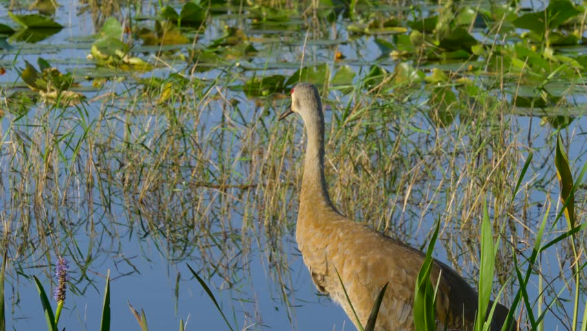 Sandhill Crane (Grus canadensis) - Florida. Sandhill Crane (Grus canadensis) stroll along the lake in search of food. Adult Sandhill Crane (Grus canadensis) is standing at the edge of the marsh.