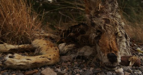 A Dead and Decayed Coyote / Canine / Animal / Mammal