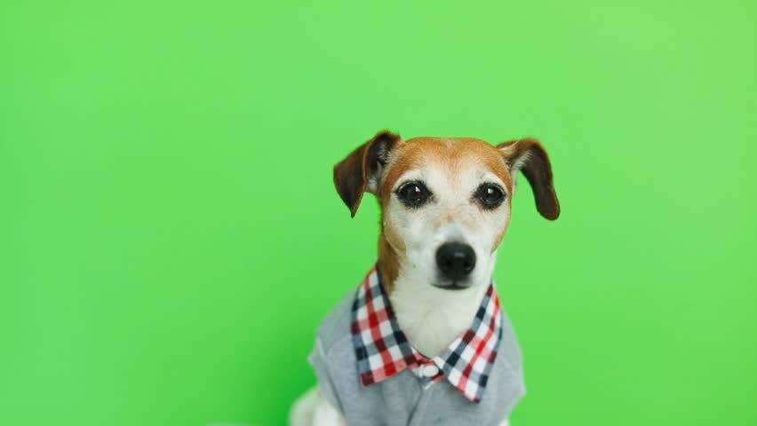 Adorable cute dog in clothes looking to the cam smiling and after leaving the frame. Green chroma key background. Video footage.