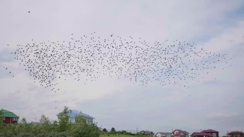 A flock of birds flying in the sky. Many swallows in one place