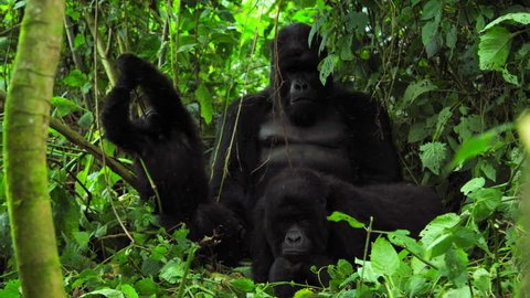 Family of Silverback Gorilla playing at Virunga National Park Congo Africa Mountain Gorilla