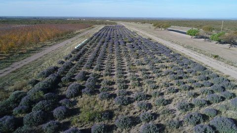 Aerial drone scene of lavender and fruit trees plantation with commercial purpose in autumn, fall, in San Rafael, Mendoza, Argentina. Camera moving forwards. beekeeping drawers, bees.