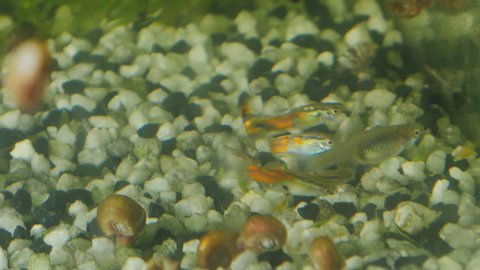 Female and several males of guppy in aquarium.