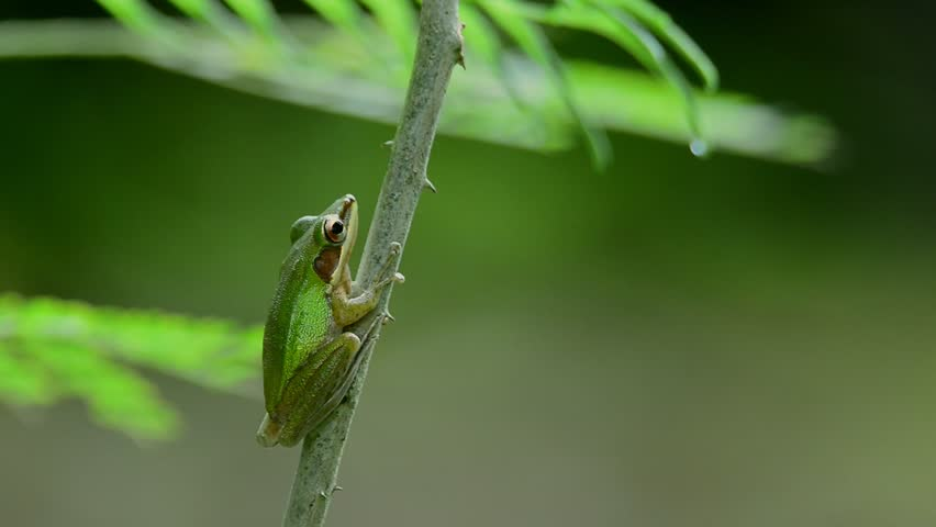 White lipped frog Hylarana raniceps  living in low land tropical forest resting on climbing wattle tree ,hd video. Frog in green color perching on tree.