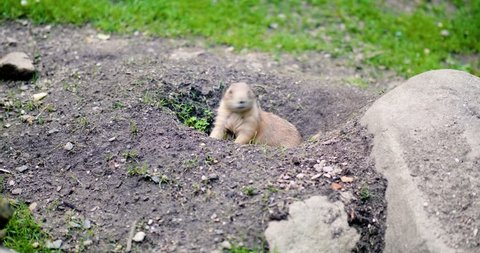 Gopher sitting in his hole
