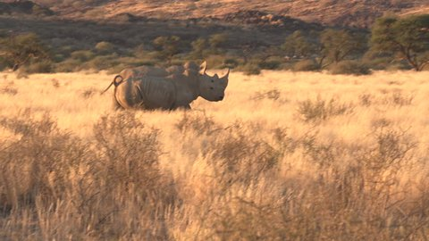 rhinos running in the wild of africa