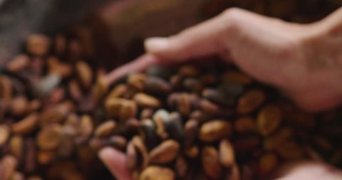Close-up of a hand holding cocoa beans which are then dried in the sun for the production of cocoa powder and chocolate. Concept of: desserts, tradition and food.