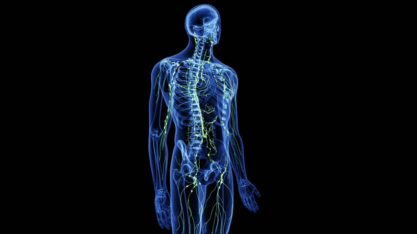 medically accurate 3d animation of the abdominal lymphatic nodes