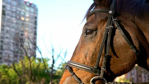 4K, Close-up of head of brown horse with harness. Police riding horse in street. Taiwanese policemen mounted on horses in city. Equestrian policeman on horseback in park. Patrol officers protect-Dan