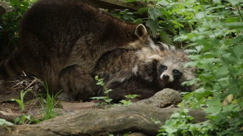 Male and female raccoon mating