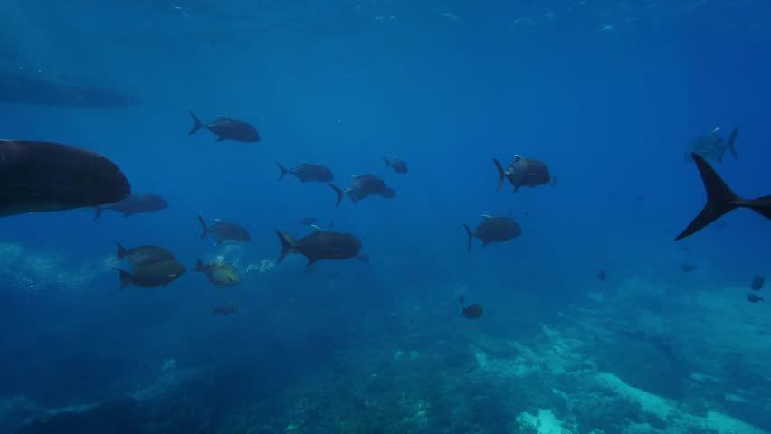 4k Black jackfish in tropical water underwater background
