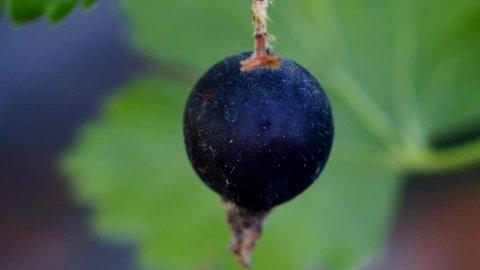 Lonely gooseberry berry