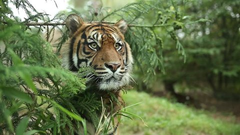 Sumatran tiger stalking her prey hidden in vegetation and his eyes gaze ahead. Tiger male is hiding in vegetation in a nature and his head is between the branches of the tree. Panthera tigris sumatrae
