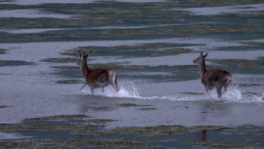 A deer and hints running in a loch