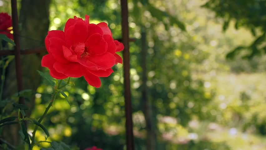 Single red rose against the background of green leaves. Red rose blooming in the garden. Rose with red petals blossoms, close up. Flower blooming at summer. Blurred background, soft selective focus