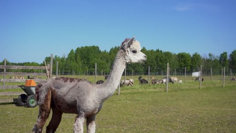 Alpaca watching around on animal ranch.