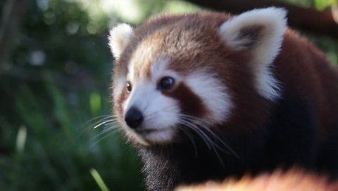 Red Panda eating Pears from Zoo Keeper during Close-Encounter with them.