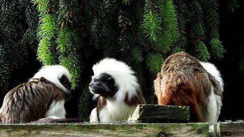 Tamarin (Saguinus oedipus) little monkeys. 4k resolution