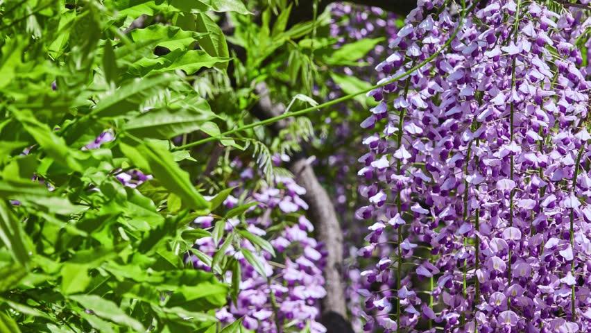 Wisteria sinensis (Chinese wisteria) is woody, deciduous, perennial climbing vine in genus Wisteria, native to China in provinces of Guangxi, Guizhou, Hebei, Henan, Hubei, Shaanxi, and Yunnan.