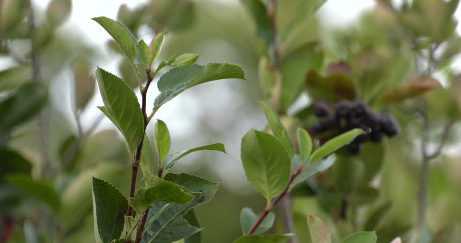 Chokeberry grows on a tree. Many branches and leaves. Small black fruit. 4K, UHD, 50fps,Panning,Closeup, Shallow depth of fields.