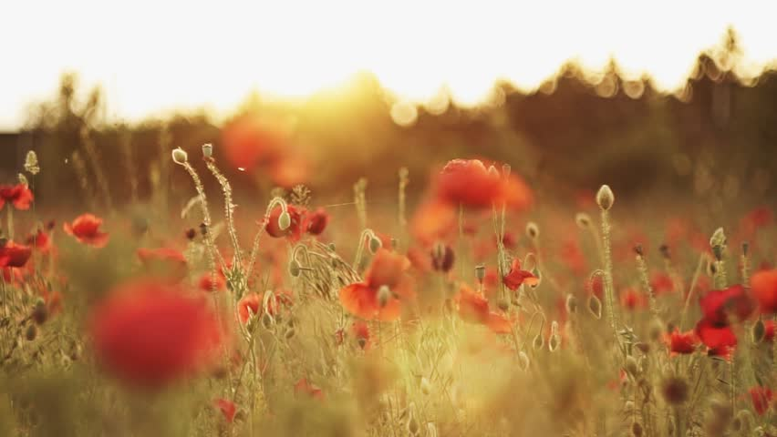 Beautiful camera movement of a poppy field in slow motion and with lens flare