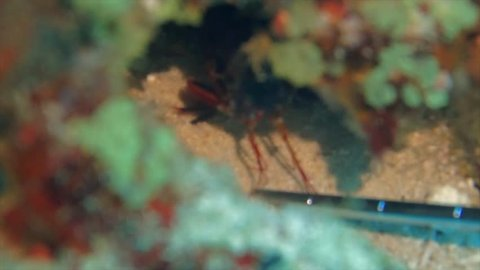 peacock mantis shrimp has one of the strongest hits in the animal kingdom. here it hits on a pointer stick of a scuba diver in slowmotion