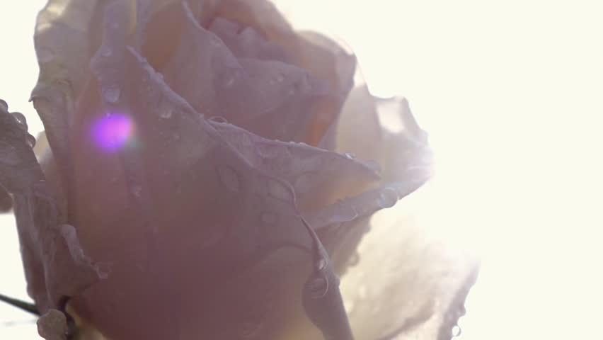 Panoramic view of beautiful champagne rose with water drops against light sky background in slow motion. Romantic flower in the garden in sunny day. Closeup shot with lens flare.