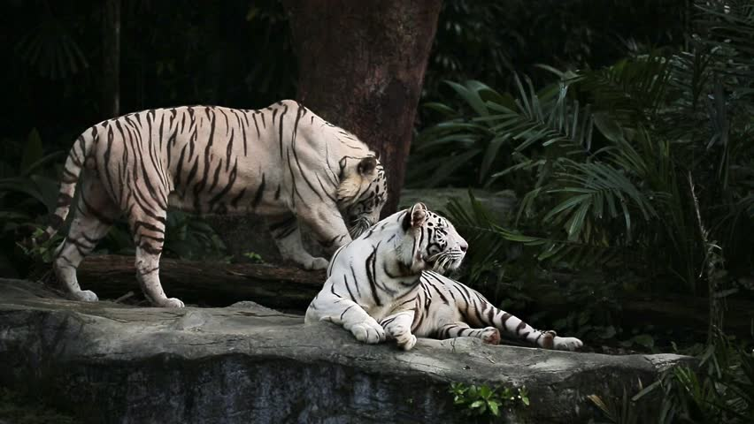 Couple of white tigers on the rock on the trees background in the zoo in Singapore. Video recording.