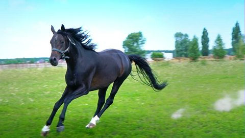 Black beautiful horse galloping on the green grass along the iron fence in the paddock, stops abruptly and pokes its head through the fence