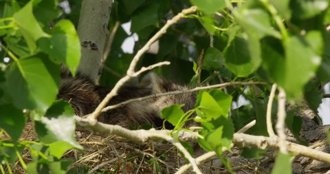 Close on raccoon hiding in nest windy tree as leaves rustle around cute face