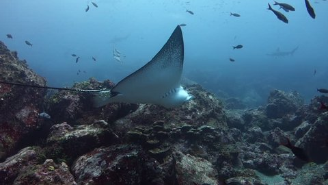 Following an eagle ray over rocky slope at Wolf Island in the Galapagos.