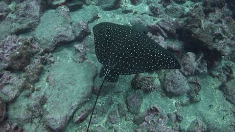 Following and looking down on eagle ray swimming over rocky slope at Wolf Island in the Galapagos Islands.