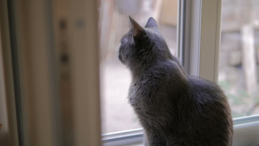 Cat of the breed Russian blue sidin at the window