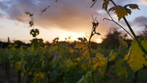 Wineyard-New Grape and Leaf Spring at Sunset