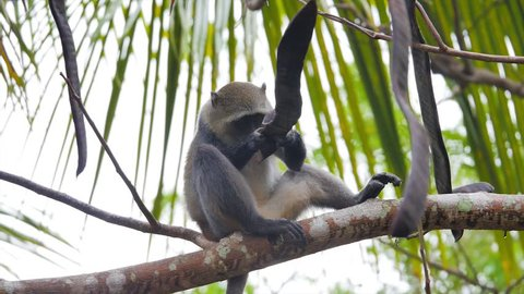 Diademed monkey eating in a tree