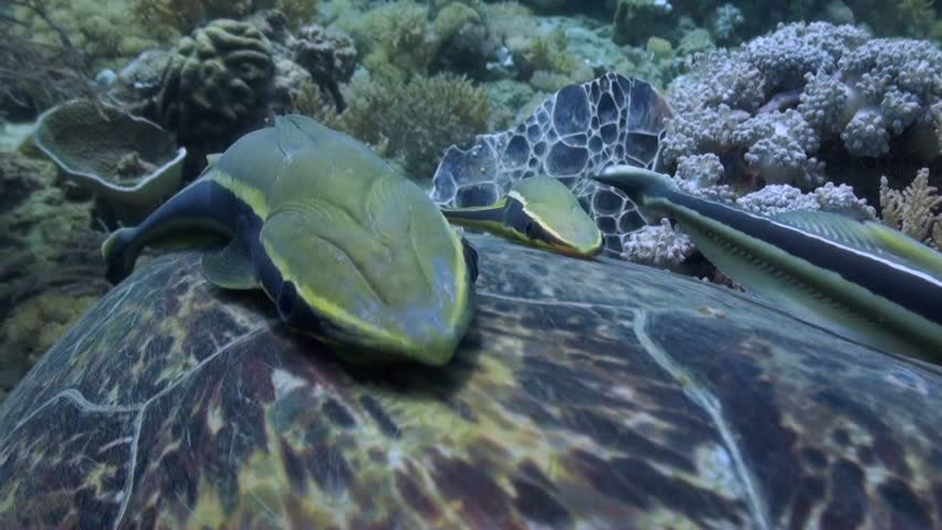 Remoras (Echeneidae) Close Up on Green Turtle (Chelonia mydas) Shell - Philippines | Shutterstock HD Video #1013701127