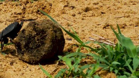 Bung Beetle rolling a ball of poop