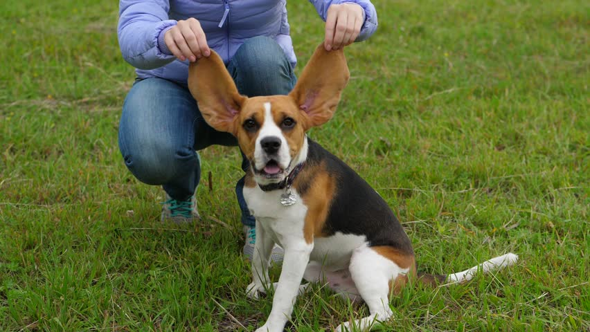 Woman hold up long Beagle ears, funny portrait of young curious dog, pet looking straight to camera then rise muzzle up and howl, run towards, slow motion shot | Shutterstock HD Video #1013753057