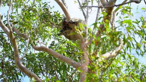 Koala sitting in the tree in Perth Australia