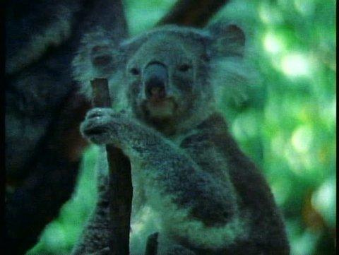 SYDNEY, AUSTRALIA, 1985, Koala, medium close up, one, Australia