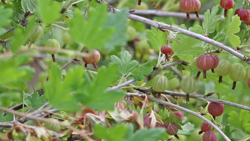 video with ripe gooseberry in garden