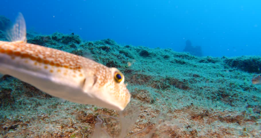 Cestus veneris  underwater jelly fish strange