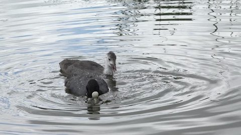 coot and small coot search feed
