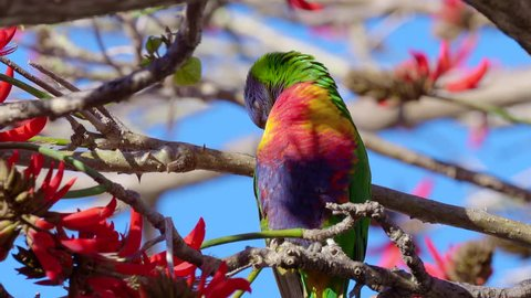 Close-up of a Rainbow Lorikeet (Trichoglossus haematodus) - a colourful, medium-sized Australian parrot - in a Coral Tree (Erythrina sykesii) in Perth, Western Australia.