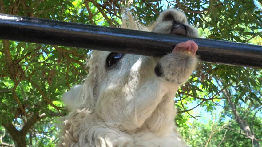 Kherson region, Ukraine - 3d of June 2018: 4K Tour to the Askania-Nova reserve - Close up cute face of Llama with big black eyes