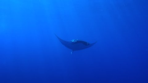 Giant manta ray approaches and then swims past camera with light rays from above - Socorro.