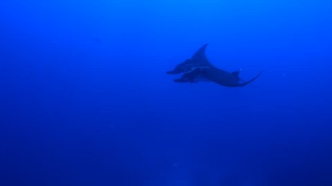 Move in close to giant manta ray with two remoras which then moves away - Socorro.
