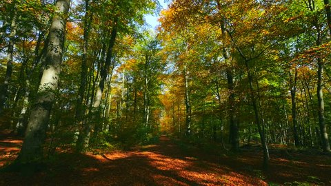 Beech forest in autumn, Rhineland-Palatinate, Germany, Europe